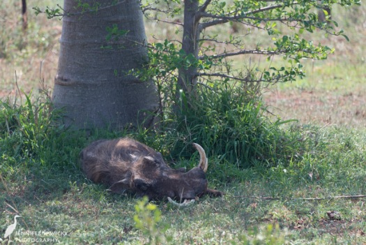 Catching a nap in the mid afternoon heat, in the garden of the Wildlife ACT volunteer house. 1/500 sec, f5.6, ISO 250
