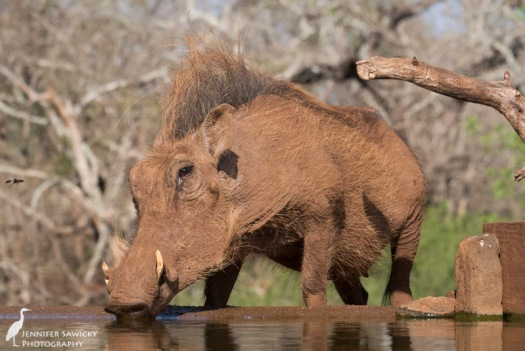 A large female warthog popped by the Mkombe bird hide for a drink. 1/1250 sec, f8.0, ISO 1600