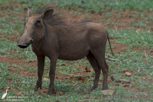 A young warthog I caught snooping around the garden while I was outside photographing the birds. 1/500 sec, f7.1, ISO 100