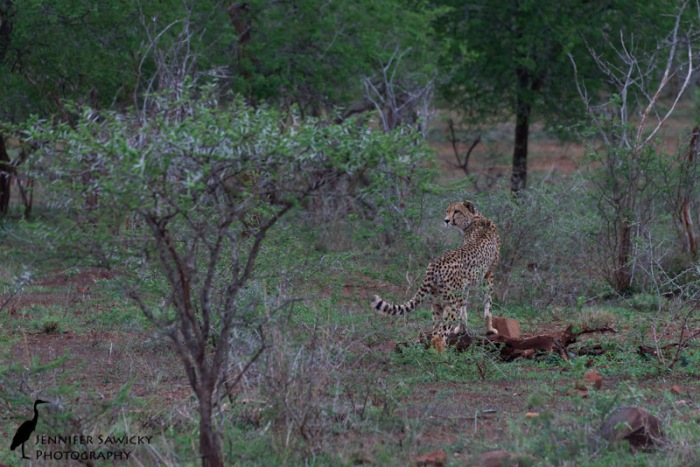One day we caught up to Kalahari early on our morning tracking drive, but he soon disappeared into the trees heading down towards the river.   1/320sec, f8.-, ISO 800