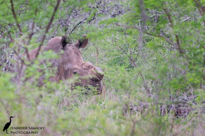 A de-horned rhino grazing in dense brush. 1/250 sec, f5.6, ISO 500