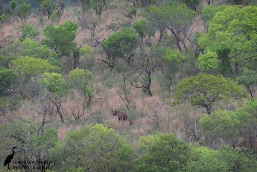 A black rhino cow and calf wander along a hillside. 1/320 sec, f9.0, ISO 500