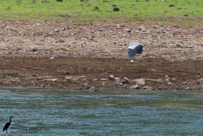 A grey heron in flight above Jozini Dam.