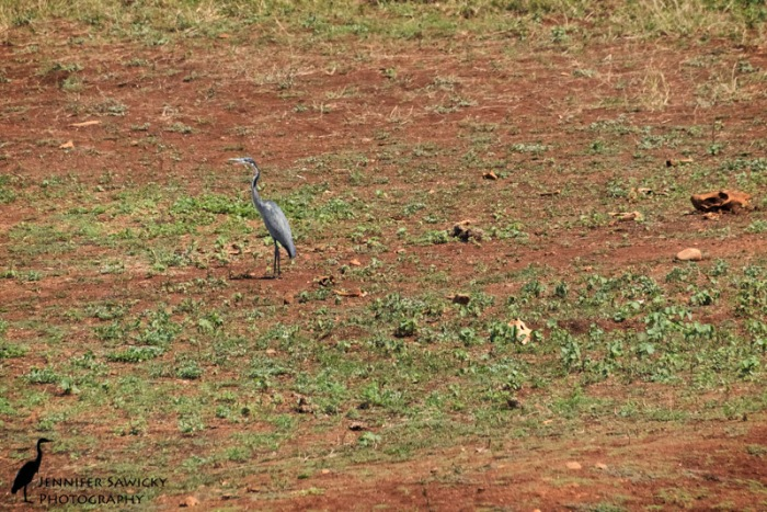 A grey heron with an antelope skull and various bones littering the background.