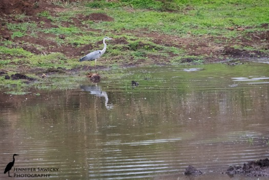 Grey heron reflection