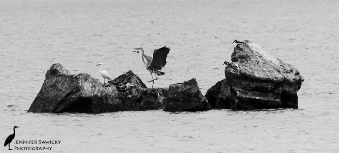 A grey heron, an egret and a pair of died kingfishers.  Those were some busy rocks!