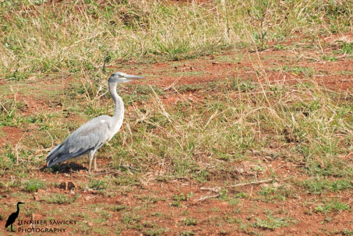 A grey heron nicely poses in the grasses next to the dam.