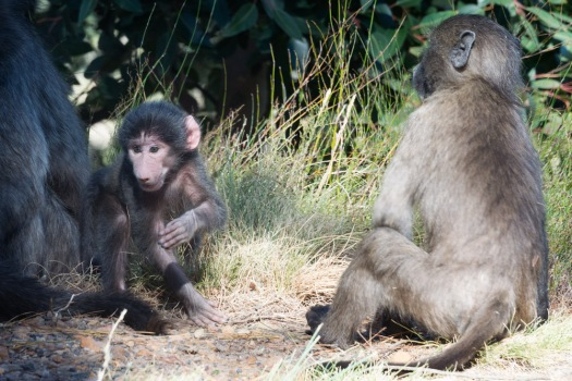 A baby baboon, no more than a few days old, scampered around the side of the road, seen on our way into Franschhoek.