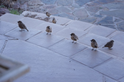 A group of sociable weavers line up on the patio steps, waiting for me to leave the table so they could help themselves to leftovers.
