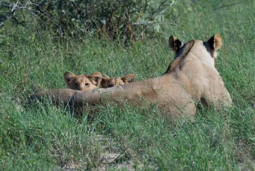 A pair of lion cubs peek at us from behind their mom.