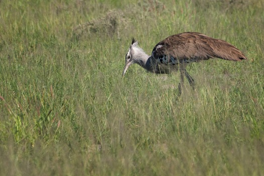 A Kori bustard searches the grass for his next meal.
