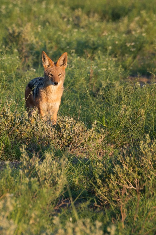 A black backed jackal gives us the eye as the daylight begins to fade.
