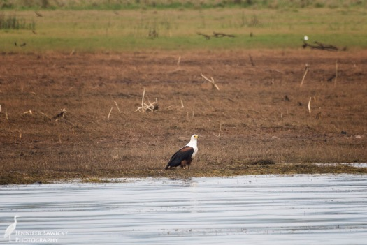 A female fish eagle along the shores of Jozini Dam.  I saw several fish eagles during my morning boat trip, but unfortunately for my photography, most were too far away to get a reasonable picture on a somewhat bumpy boat ride. 1/1250 sec, f5.6, ISO 320