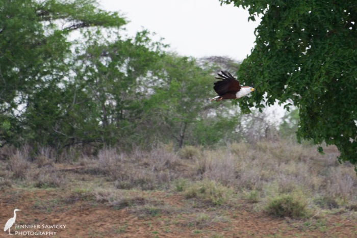A male fish eagle gave us a fly by while we were out doing our monitoring activities.  The more I look at this picture, the more it looks like I (badly) photoshopped the bird into the background.  I can assure you I didn't! 1/800 sec, f5.6 ISO 800