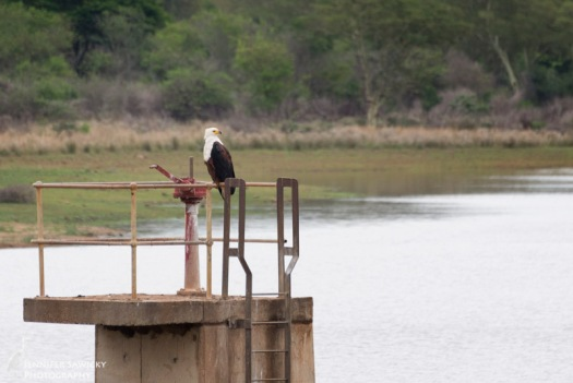 Maybe not the nicest perch, but it certainly was a popular one.  During my two weeks at Zimanga, I saw herons, kingfishers, fish eagles and an assortment of other birds on this dam structure. 1/320 sec, f5.6, ISO 640