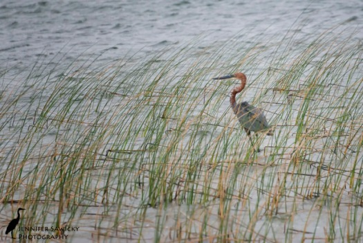 A goliath heron in the tall grasses along Lake Sibaya.