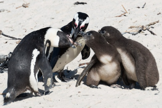 A couple of hungry African penguin chicks beg their parents for food at Boulders beach.