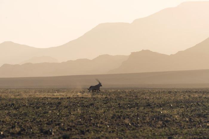 An oryx runs through the desert at sunset.  Such pretty light.