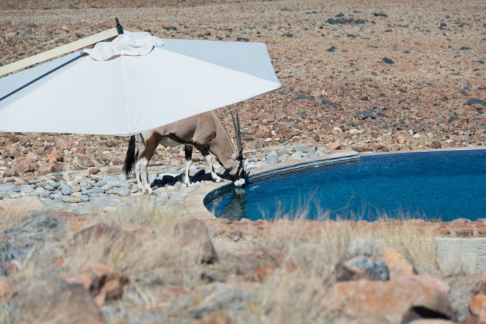 An oryx tests the water of the lodge pool.