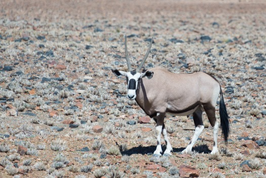 I landed in Namibia hoping I would see Oryx, and within a few minutes, I did :)  The lodge had a small watering hole, and I frequent sightings.