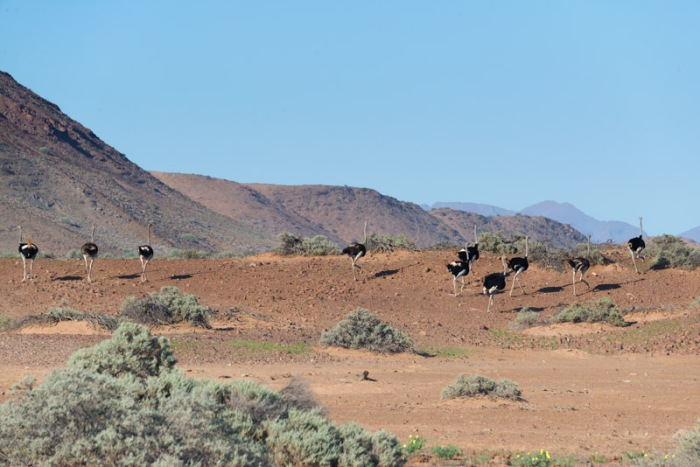 A huge group of ostriches were spooked by our approaching vehicle, and ran as fast as they could to the top of the rise.