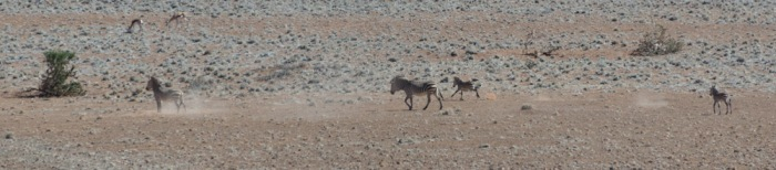 Some young zebra playing in the desert.  These little guys were whipping around, without a care in the world.