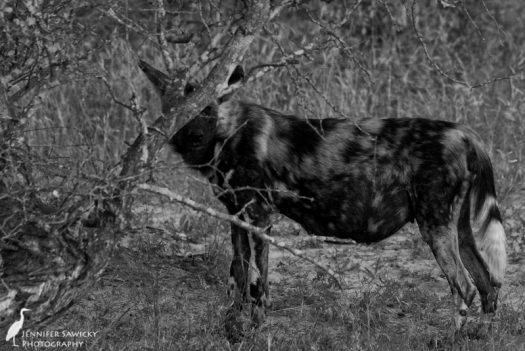 A heavily pregnant alpha female wild dog looks our way from behind some branches.