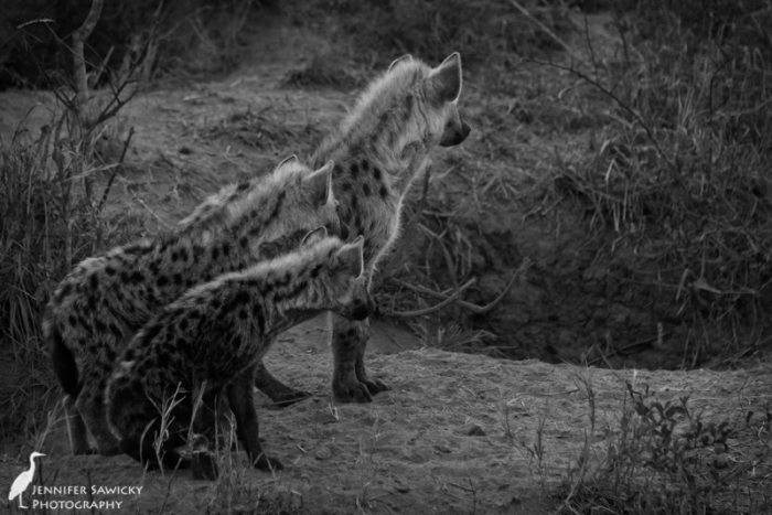 Hyenas come in small, medium and large at this sighting.