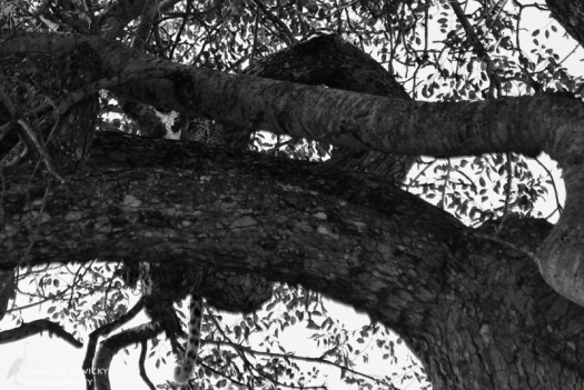 A leopard cub peers down between the branches of a tree.
