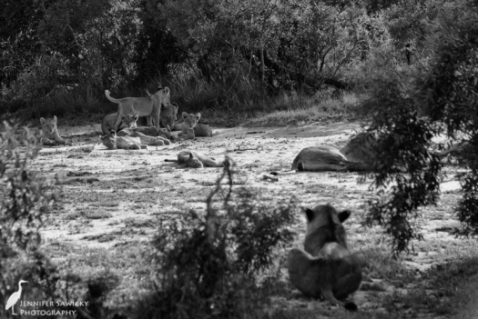 A lioness looks on while the cubs swarm her sister.