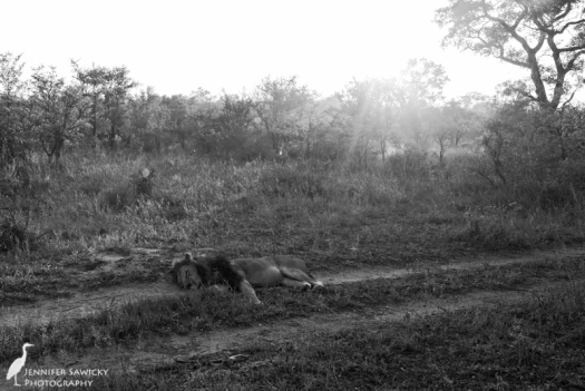After moving all night, this lion just couldn't go any further, and laid down for a nap on the road.