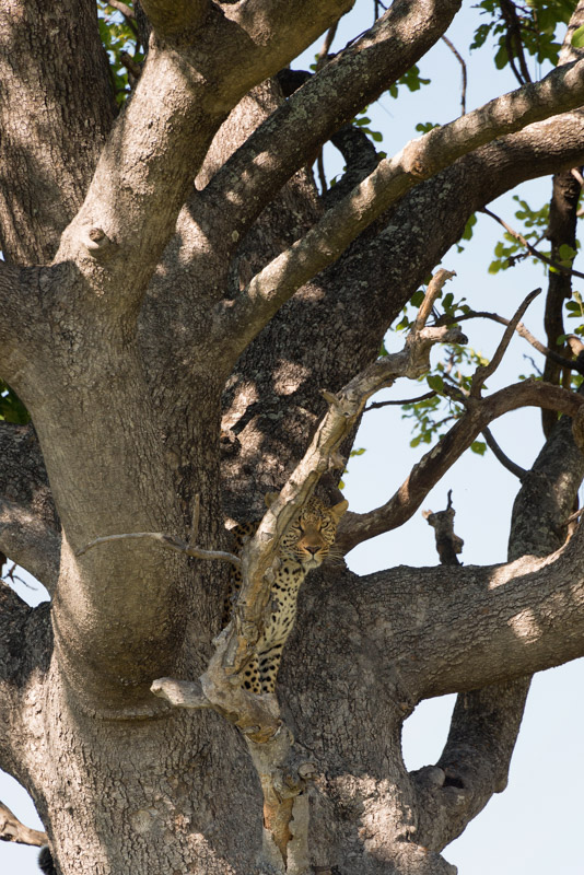 A leopard peers down from a tree.