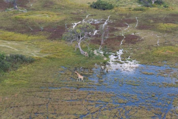 A lone giraffe wanders through an area of new flood.