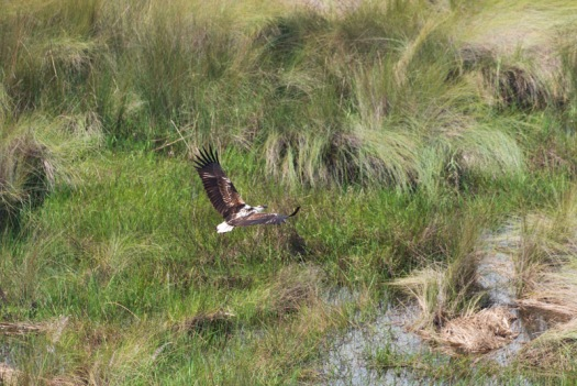 A fish eagle from above.