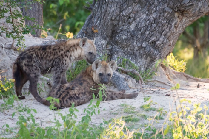 A pair of spotted hyena cubs rest outside of their den.