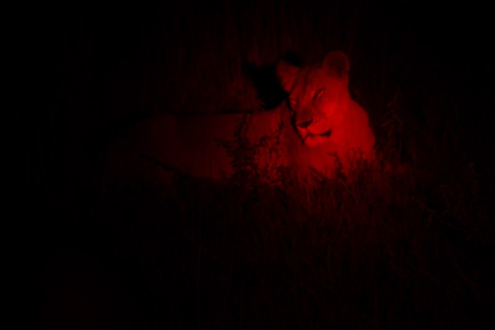 I had two opportunities to photograph lions at night with red filters.  I am looking forward to the black and white conversions when I get home.