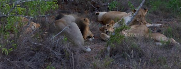 The young lions were far more interested in getting up than the adults.