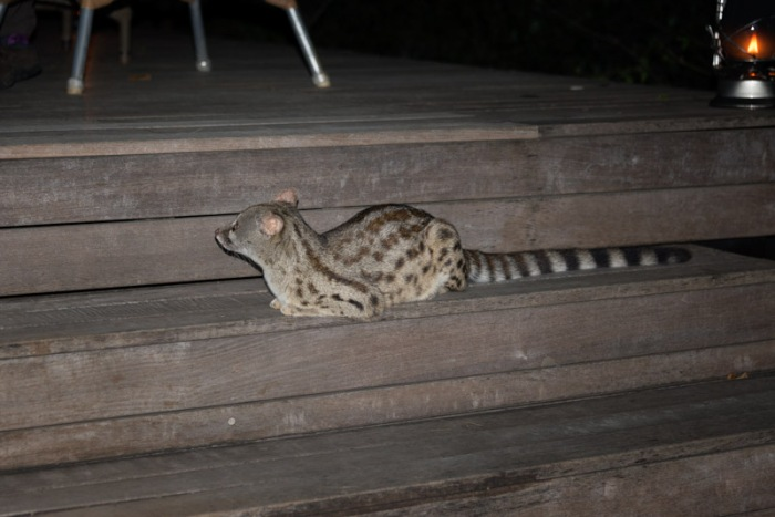 The resident genet at Phinda, hanging around the dining area at night, hoping someone will drop something tasty.  They call her Genet Jackson.