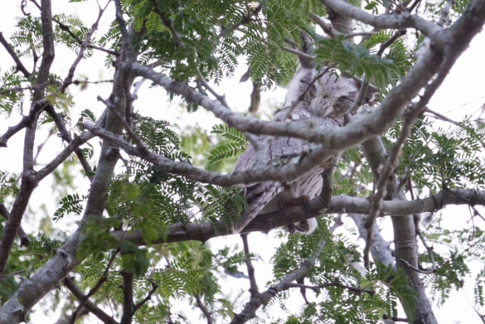 I asked Dave to find me an owl if possible during my stay - he said give me 15 minutes (at 4 in the afternoon).  About 20 minutes later he and Thoks found this adorable sleeping southern white faced owl.