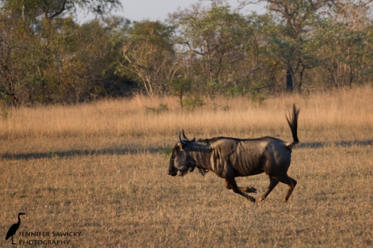 A wildebeest enjoying the cool air of early morning.