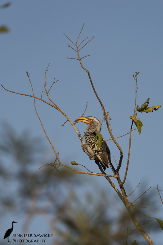 A yellow billed hornbill, or as my Dad likes to say