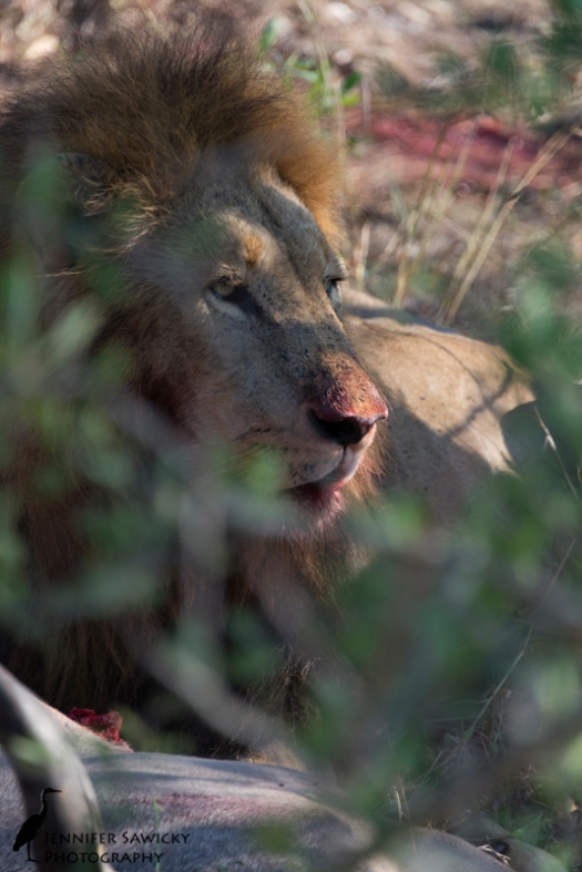 A lion take a pause from his kudu breakfast.