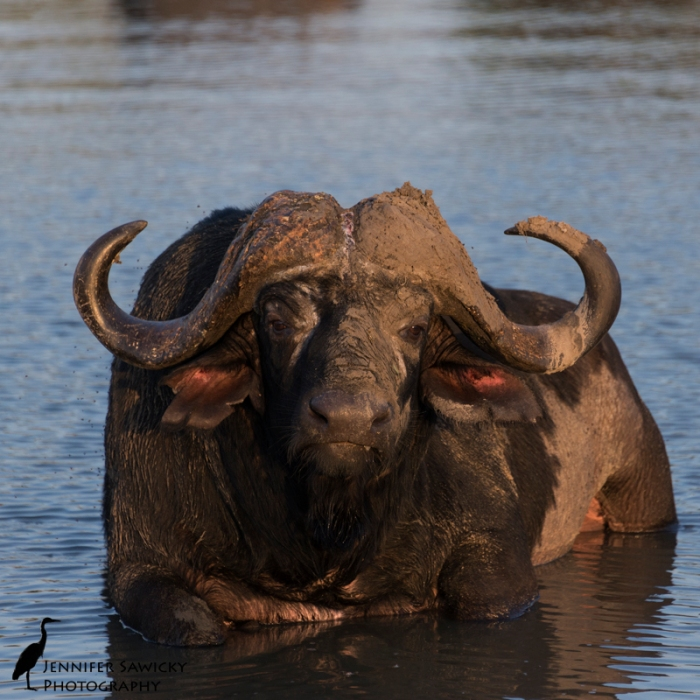 A dagga boy.  One of the old buffalo bulls cooling off in the watering hole.