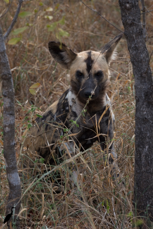A wild dog peers at us from between two small tree trunks.