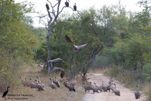 A huge group of vultures gathering near a kudu carcass.  They were waiting for a female lion to clear off before heading in fight for scraps.