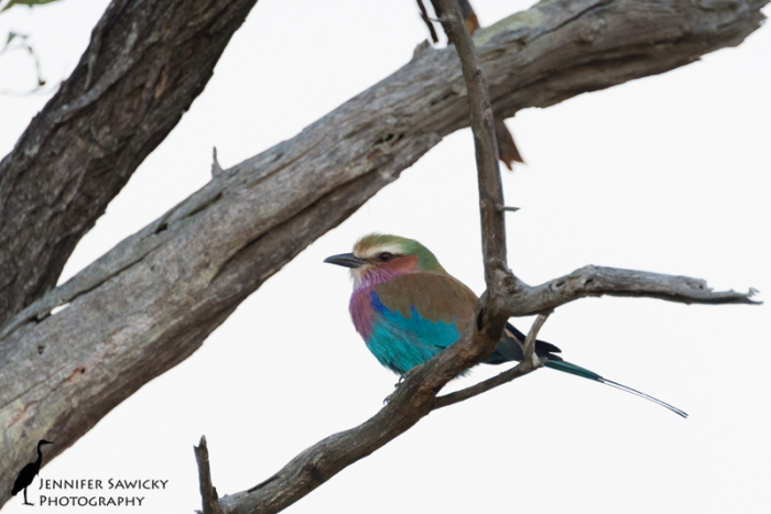 One of my favourite birds, the beautiful lilac blasted roller.