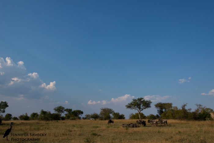 A small group of wildebeest gather around a tree, on a perfect autumn afternoon. 1/1000sec, f10, ISO360