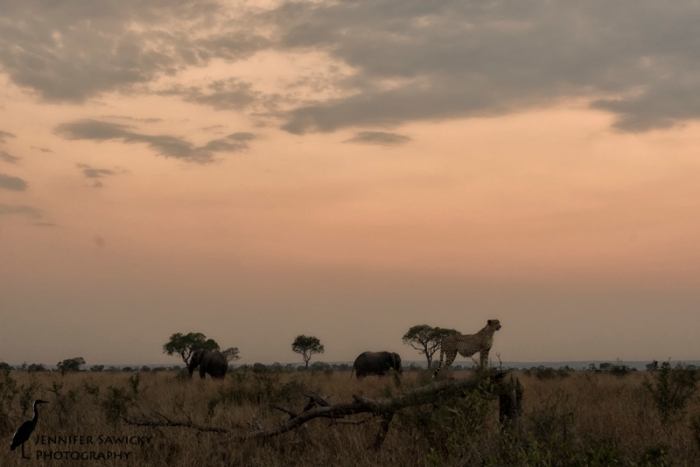 A couple of iconic African shapes - elephants and  cheetah. 1/250sec, f7.1, ISO 3600