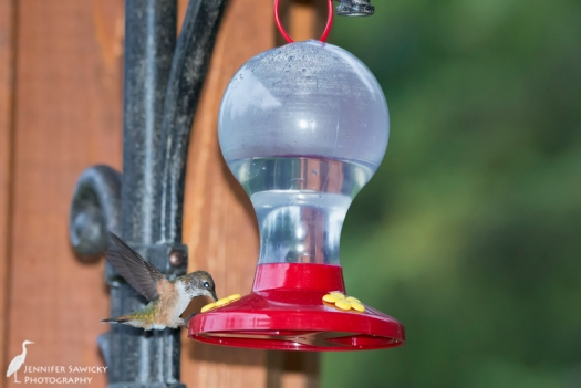 Prince George Hummingbirds-3
