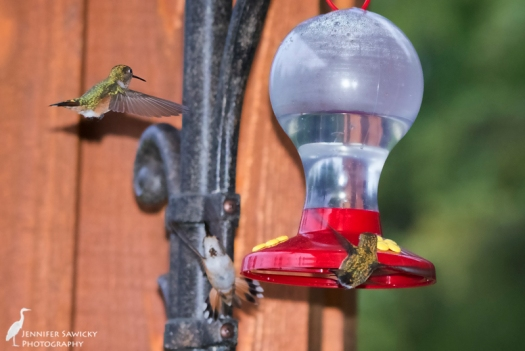 Prince George Hummingbirds-4